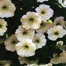 Petunia - Supertunia ® White