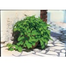 Sweet Potato Vine - Margarita