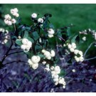 Snowberry - White