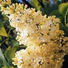 Lilac - Primrose