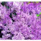 Lilac - Minuet