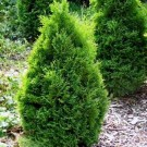 Arborvitae - Holmstrup