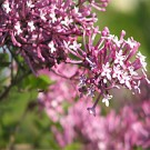 Lilac - Tinkerbelle®