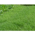 UC Verde Buffalo Grass Plugs