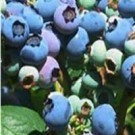 Blueberry - Elliott