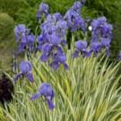 Variegata Iris