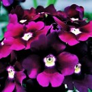 Verbena - Lanai® Royal Purple with Eye
