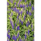 Veronica - Royal Candles Speedwell