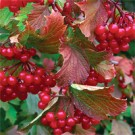 Viburnum - American Cranberrybush