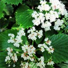 Viburnum - Autumn Jazz® Arrowwood