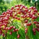 Viburnum - Cardinal Candy