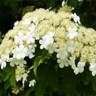 Viburnum - Sargent Cranberrybush