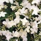 Viburnum - Summer Snowflake