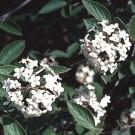 Viburnum - Fragrant