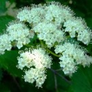 Viburnum - Arrowwood
