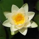 Virginalis Water Lily