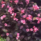 Midnight Wine Weigela Flowers