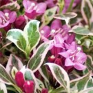 Weigela - My Monet