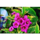 Weigela - French Lace™