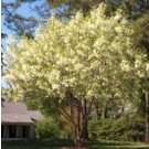 White Fringe Tree