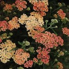 Yarrow - Apple Blossom