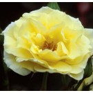 Rose - Easy Elegance® Yellow Submarine