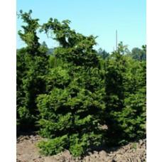 False Cypress - Gracilis