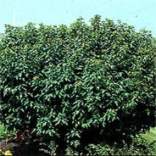 Maple - Compact Amur Maple
