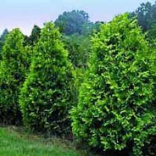 Arborvitae - American