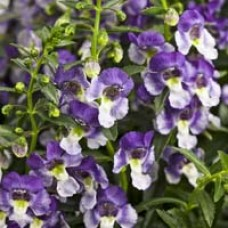 Angelface Wedgewood Blue Angelonia