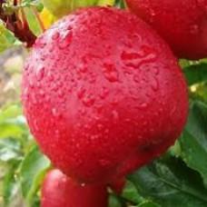 Pink Lady Apple Tree (Cripps Pink Variety)