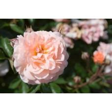 Apricot Drift Rose - Groundcover