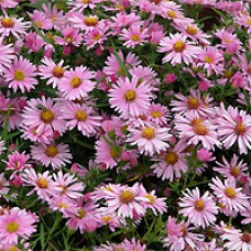 Aster - Woods Pink