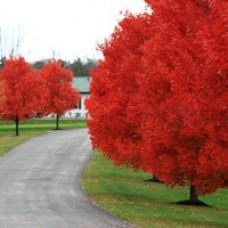 Autumn Blaze® Red Maple