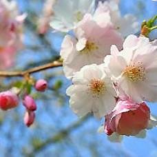 Autumn Blooming Cherry