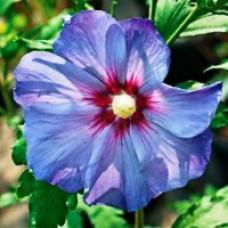 Rose of Sharon - Azurri Satin