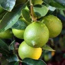 Bearss Lime Tree Gift Set
