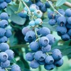 Becky Blue Blueberry Bush