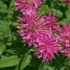 Bee Balm - Grand Marshall