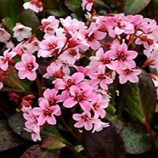 Bergenia - Pink Dragonfly
