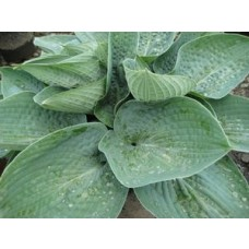 Bid Daddy Hosta
