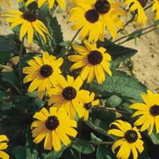 Black-eyed Susan - Goldsturm