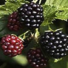 Blackberry - Triple Crown Thornless