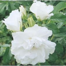 Blanc Double de Coubert Hybrid Rugosa Rose