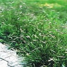 Blue Grama (Native Grass) Plugs