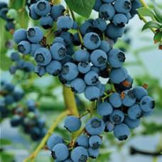 Blueberry - Bluecrop