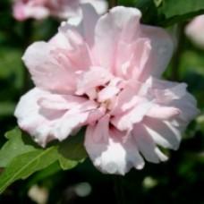 Rose of Sharon - Blushing Bride