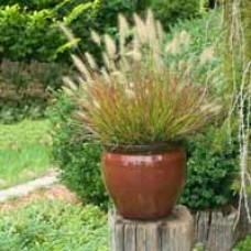 Burgundy Bunny Grass