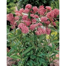 Pink Butterfly Plant