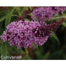 buddleja buzz lavender